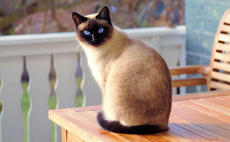 Pisica siameza stand pe o masa.