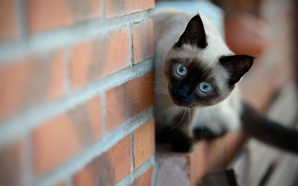 Pisica siameza pe un zid de caramida.