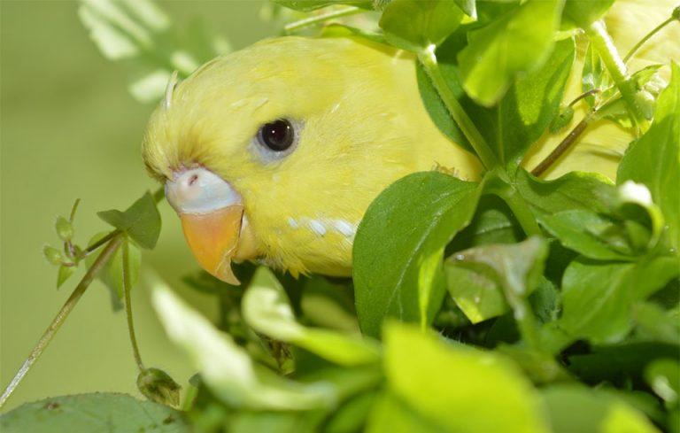 Papagal iesind cu capul din niste plante.
