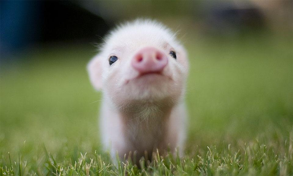 Pui de porc in iarba.