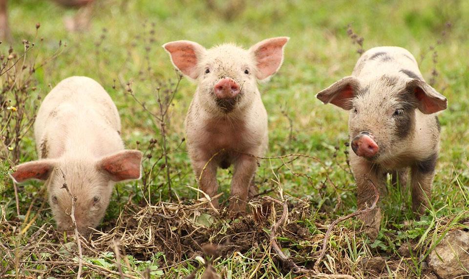 Trei porci pe un camp.