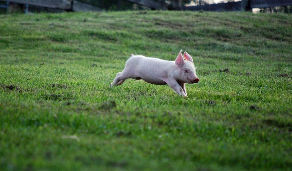 Porcusor alergand prin iarba.