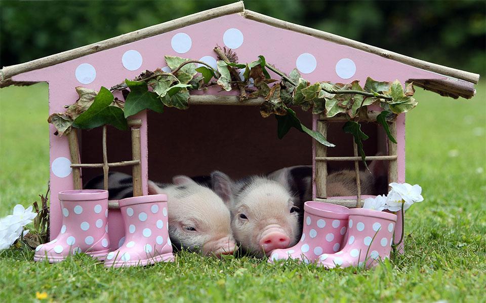 Purcelusi intr-o casa roz cu buline albe.