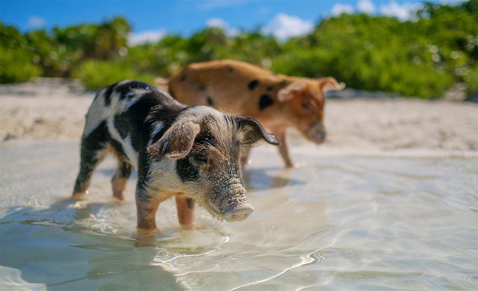 Doi porcusori in apa langa o plaja.