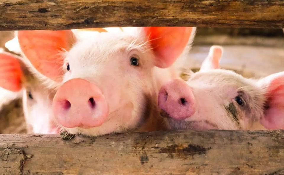 Capul unor porci printr-un gard de lemn.