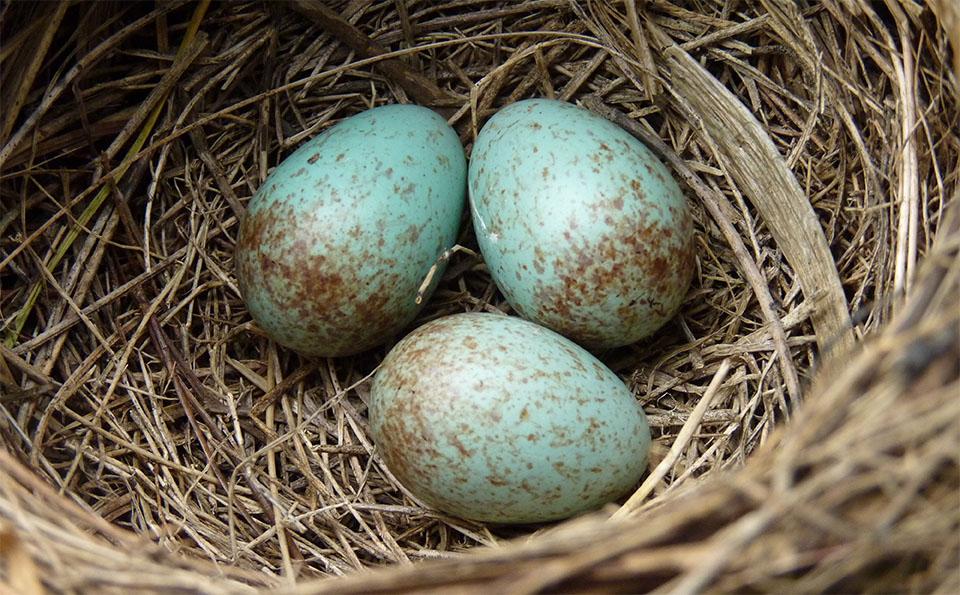 Cuib cu trei oua turcoaz.
