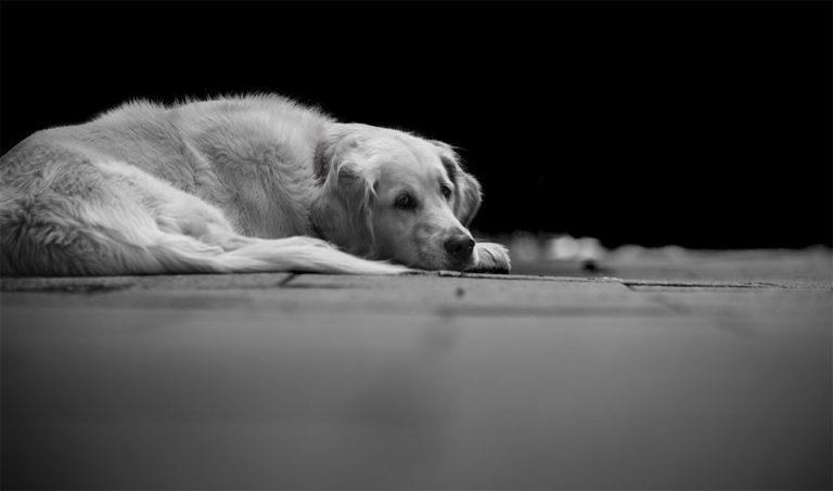Poza alb-negru cu un caine stand culcat.