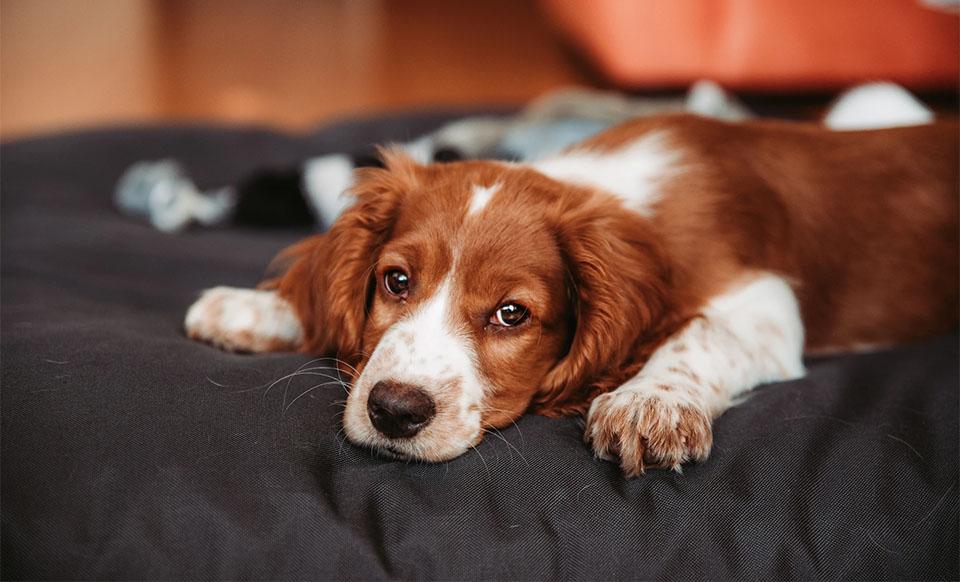 Caine culcat pe un pat.